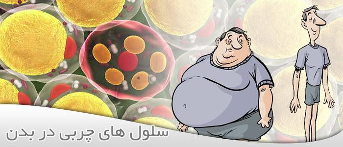 سلول های چربی در بدن