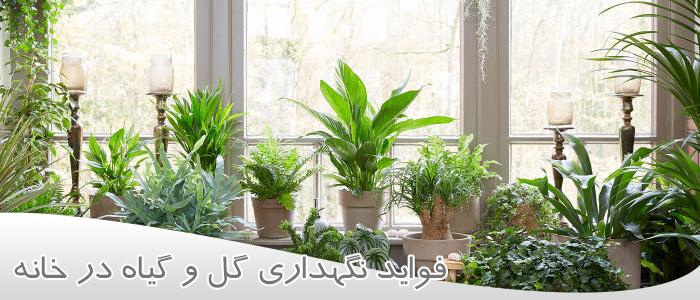 گل گیاه آپارتمانی